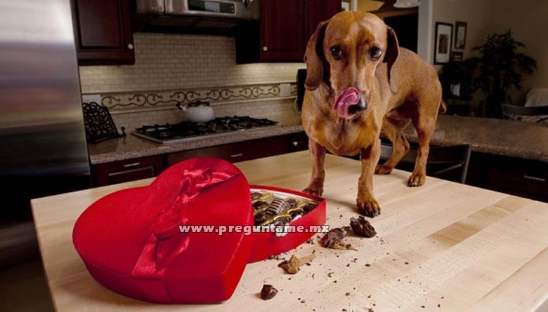 Es verdad que el chocolate les hace da o a los perros - Es malo banar mucho a los perros ...